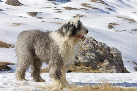 bobtail: Closeup of a bobtail breed dog, Huesca, Aragon, Pyrenees. Stock Photo
