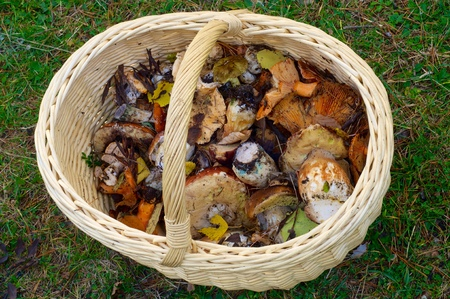 mushrooming: mushroom basket in Pineta Valley, Pyrenees, Huesca, Aragon, Spain