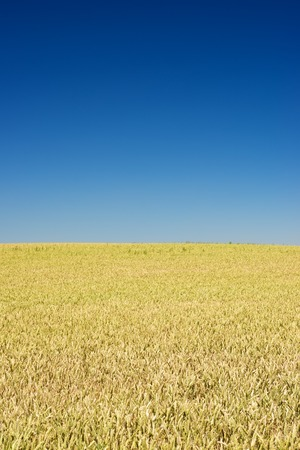 homogeneous: Background created with a close up of a cereal field. Stock Photo