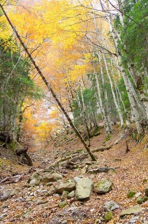 ordesa: Trunks of a beech forest in autumn, Ordesa National Park, Pyrenees, Huesca, Aragon, Spain.