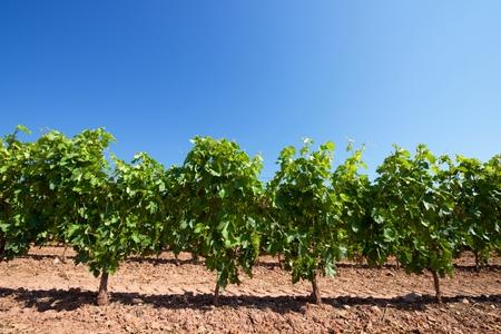 rioja: Vineyard in La Rioja, Spain.