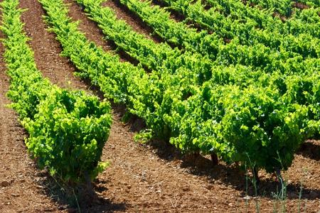 aragon: Vineyard in Paniza, Zaragoza province, Aragon, Spain Stock Photo