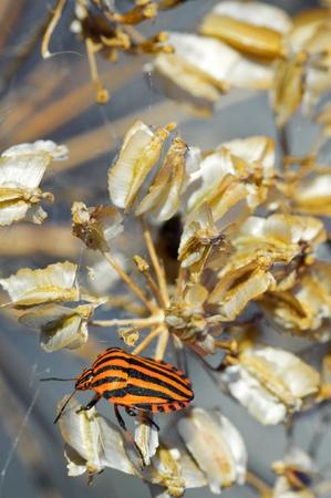 graphosoma: Bug, Graphosoma italicum, in Spain.