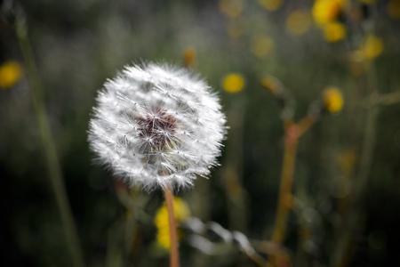 zaragoza: Closeup of a Dandelion flower, Zaragoza Province, Aragon, Spain.