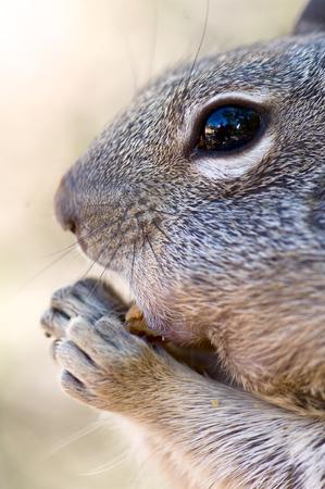 ardilla: Ardilla en el Parque Nacional del Gran Cañón, Estados.
