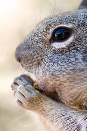 canny: Chipmunk in Grand Canyon National Park, Usa.