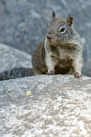 canny: Chipmunk in Yosemite National Park, Usa. Stock Photo