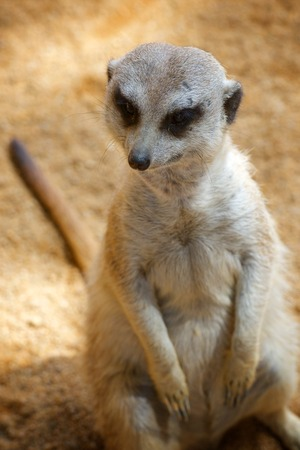 Meerkat in a zoo. Animal photographed in captivity. Valencia, Spain. Stock Photo