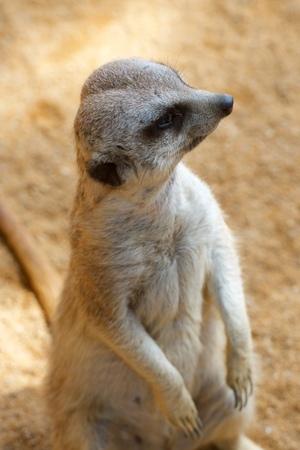 Meerkat photographed in captivity. Valencia, Spain.