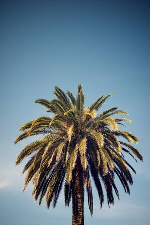 Close up of a palm tree  in Zaragoza city, Spain.