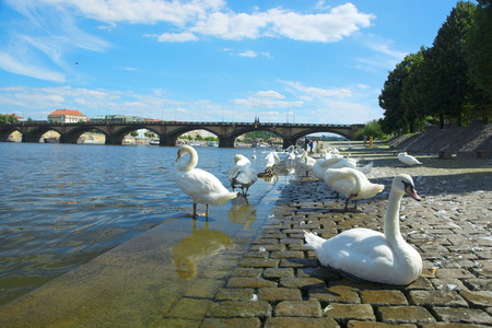 Swans on Vltava river in Prague with clouds and bridge in background. Stock Photo