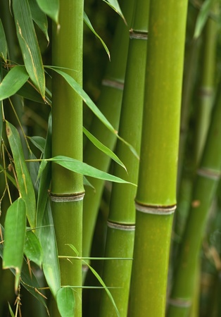 Wild bamboo in the rainforest, very bright colours, extreme clouse-up