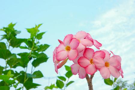 adenium: Adenium flowers.