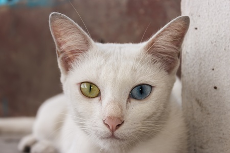 Khao Manee cat,Diamond Eye cat, is a rare breed of cat originating in Thailand Stock Photo