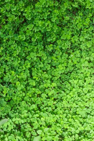 Three shamrock leaves in a clover patch