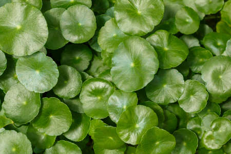 glutamate: Centella leaves,or Indian pennywort ,Gotu kola leaves