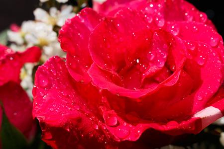 Beautiful colorful roses