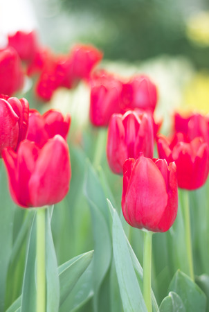 red tulips flower in the park photo
