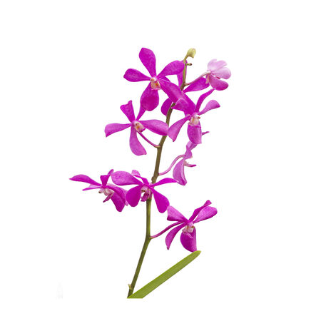 orchid flower: Pink orchid flower
