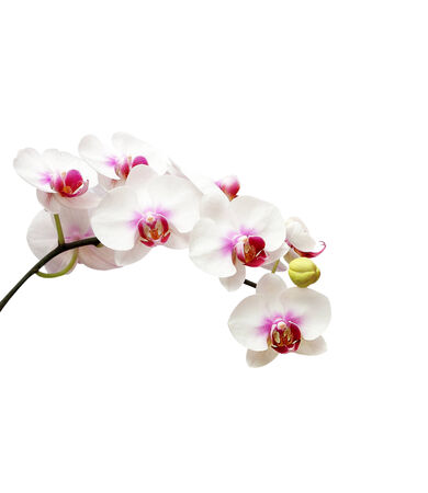 White orchid flower on white blackbackground photo