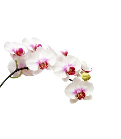 White orchid flower on white blackbackground photo