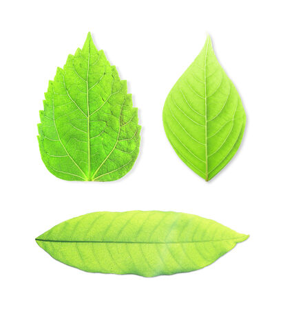 green leaves isolated on white background photo