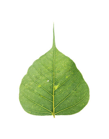 Green leaves that are completely isolated on white background. photo