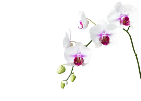 White orchid flower on white background photo