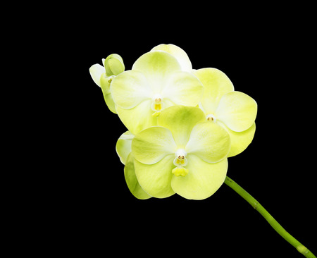 Orchid Flower isolated on black background photo