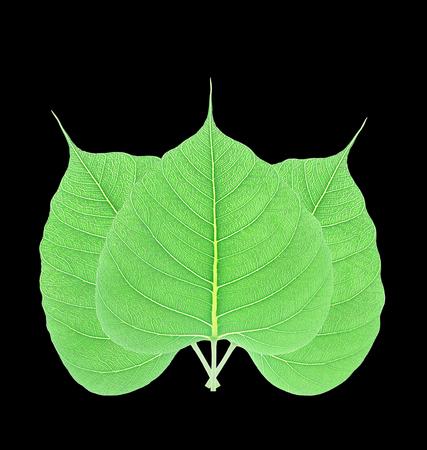 peepal tree: Green bodhi leaf isolated on black background Stock Photo