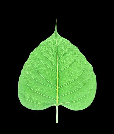 peepal: Green bodhi leaf isolated on black background Stock Photo