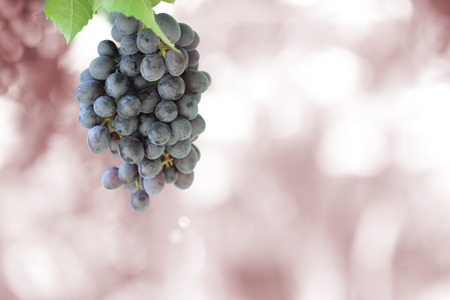 grape fruit: Bunch of black grapes on vine
