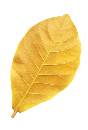 isolated on yellow: Yellow leaf isolated on a white background