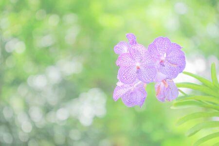 Beautiful purple orchid flower in garden  on green nature Bokeh background.
