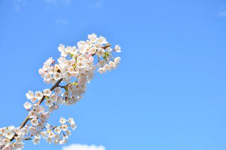 in bloom: Cherry bloom in Frankfurt