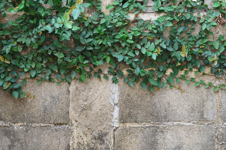 climbing fig on wall brick texture background