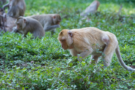 macaque: Golden macaque isolated Stock Photo