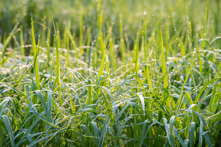 dew drop on grass Stock Photo