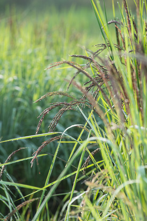 rice spike Stock Photo