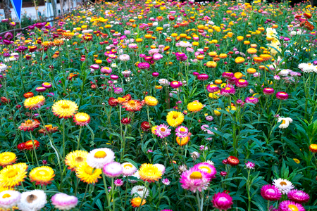Straw flower field
