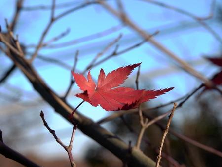 봄에 붉은 단풍
