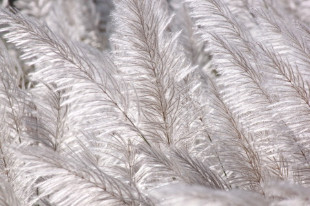cane plumes: flower of grass Stock Photo