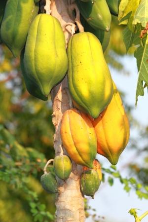 papaya tree: Papaya tree is tropical fruits