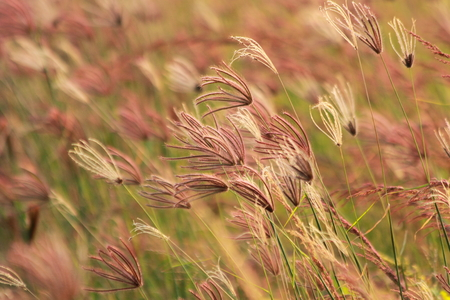 cane plumes: Grass in the wind