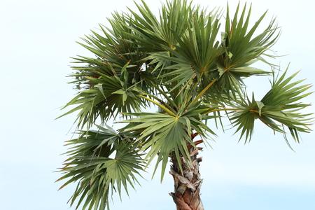 cpo: palm trees