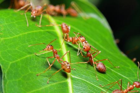 red ant: Hormiga roja