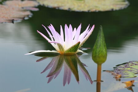 Drops of water on a lotus photo