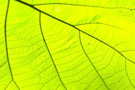 venation: leaves Stock Photo