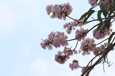 rosea: Tabebuia rosea