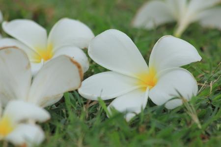 tahitian: Plumeria